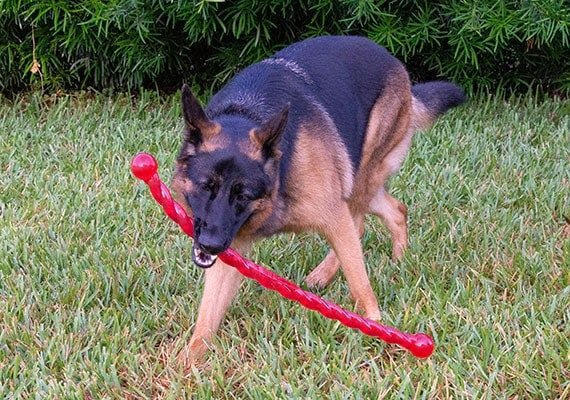 German Shepherd carrying Kong SafeStix Stick Tug Toy in mouth