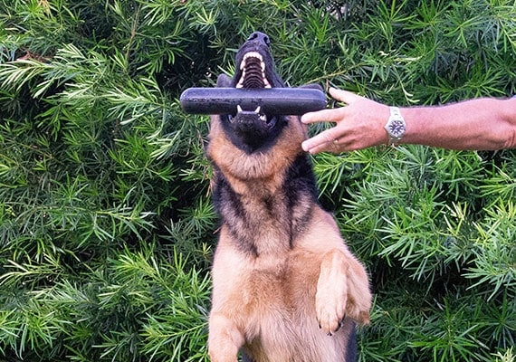 German Shepherd grabbing Goughnuts MaXX stick toy out of hand