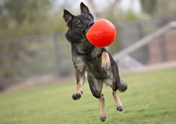 German Shepherd leaping and catching Jolly Pet Soccer Ball in mid-air