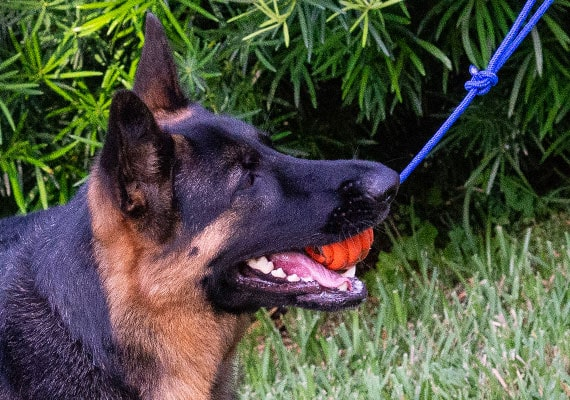 German Shepherd tugging on nero ultra ball reward toy