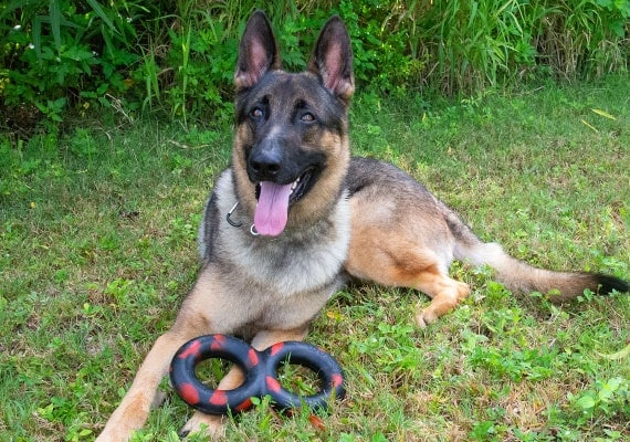 German Shepherd with Goughnuts Tug Maxx Indestructible toy