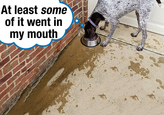 German Shorthaired Pointer messily splashing water everywhere while drinking from water bowl