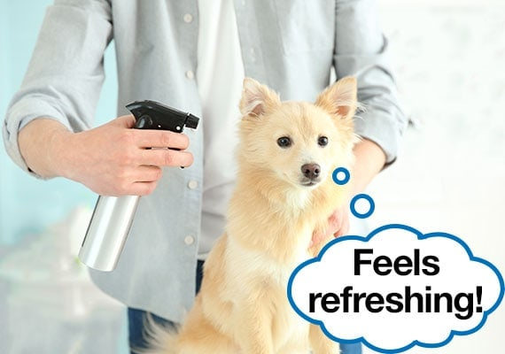 German Spitz being misted with water in spray bottle to cool him down