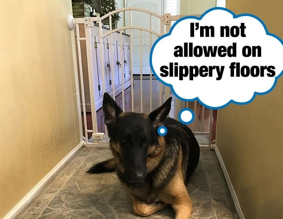 German shepherd blocked from reaching slippery wood floor in kitchen by a pet gate