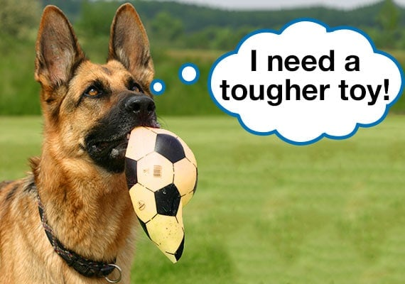 German Shepherd carrying popped soccer ball in mouth asking for tougher dog toy