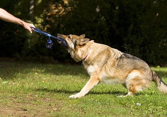 German Shepherd pulling on tug-of-war toy with owner
