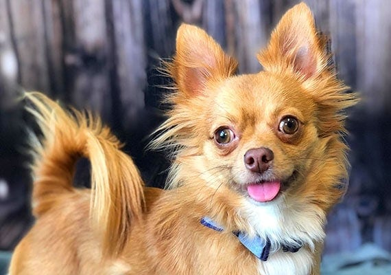 Gizmo, the long-haired Chihuahua, small ceramic dog bowl tester