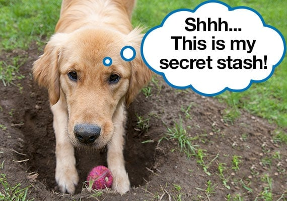 Golden Retriever hiding treat dispensing toy in hole that is dug in yard