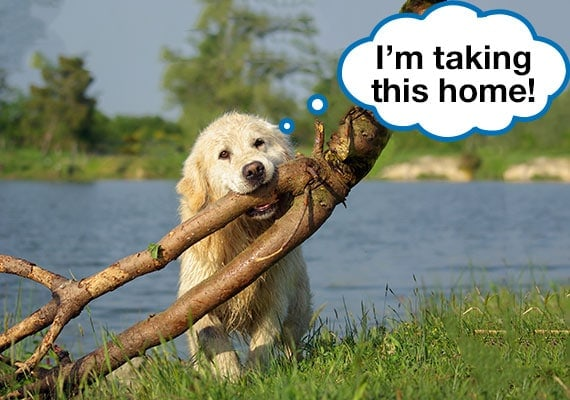 Golden Retriever carrying fallen tree in mouth next to lake