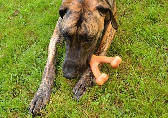 Great Dane Chewing on Benebone Real Flavor Wish Bone Nylon Chew Toy