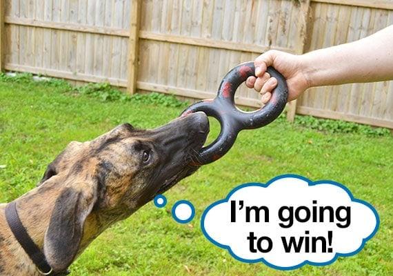 Great Dane pulling on best heavy-duty tug dog toy, the Goughnuts Tug MaXX