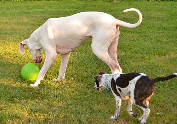 Great Dane pushing Jolly Soccer ball with nose herding it around yard
