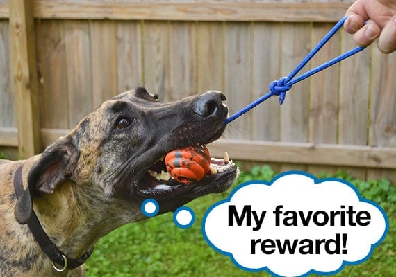 Great Dane pulling on the best reward dog toy, the nero ball ultra