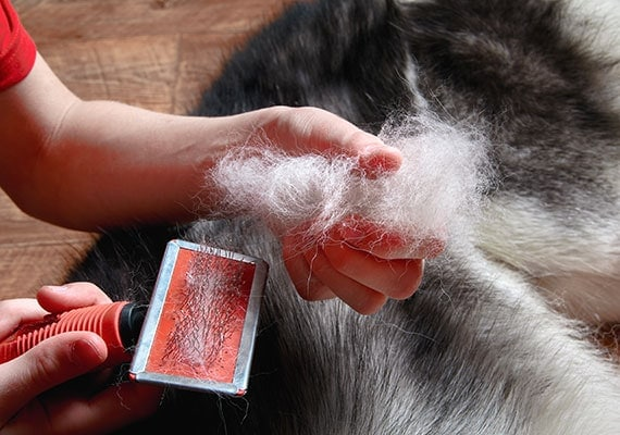 Grooming a Siberian Husky with a brush and removing a handful of dog hair