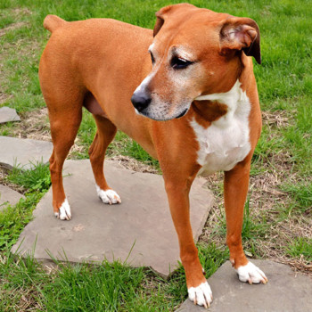 Holly the Boxer Foxhound, Kyles Dog
