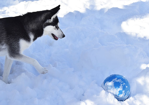 Husky chasing Jolly Soccer Ball toy in snow
