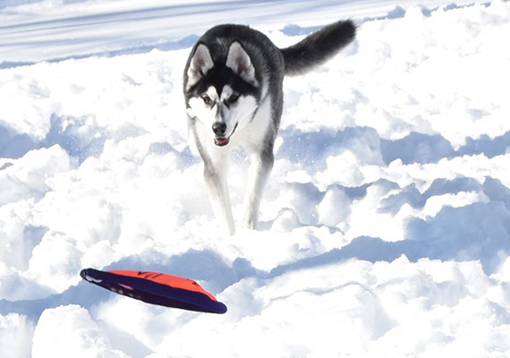 Husky chasing frisbee in snow