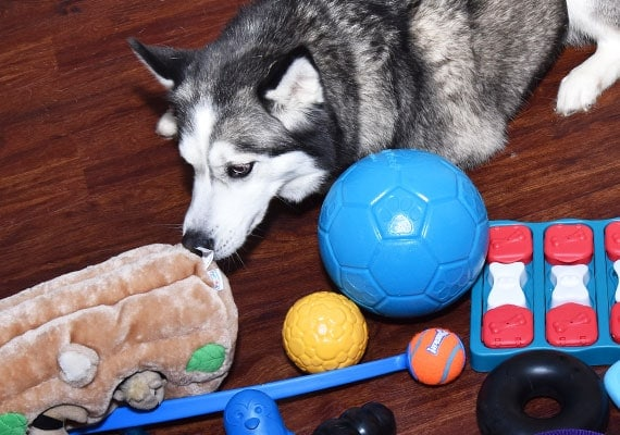 Husky helping to play with and test toys to find the best types for huskies