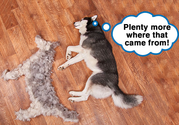 Husky sleeping next to hair that has shed on floor swept up into shape of dog