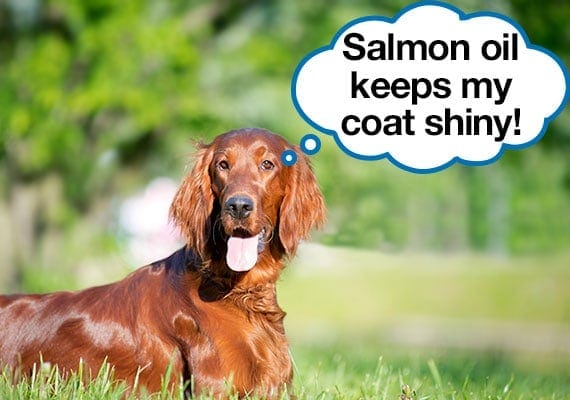Irish Setter with healthy shiny fur coat from salmon oil supplements