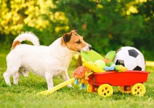 Jack Russel Choosing the best dog toy out of a trailer filled with toys