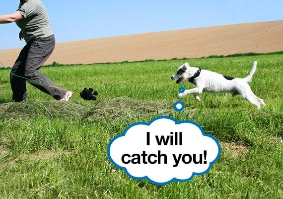 Jack Russel Terrier being exercised as he chases his owner in a grassy field