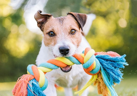 Jack Russell Terrier carrying braided rope toy in his mouth