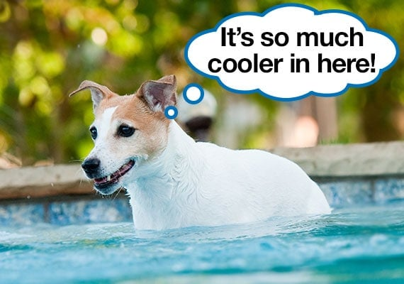 Jack Russel Terrier cooling off on a hot day in swimming pool