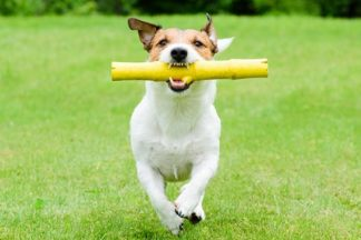 Jack Russel Terrier running in park with Bamboo wooden stick toy in mouth playing fetch