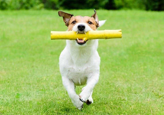 Jack Russell Terrier running in park with bamboo wooden stick toy in mouth playing fetch