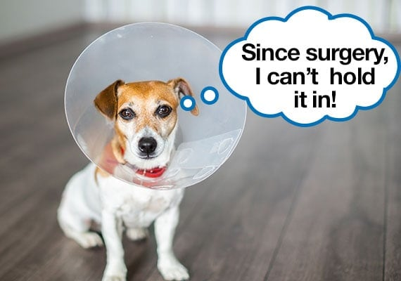 Jack Russel Terrier with dog cone on who has incontinence after being spayed
