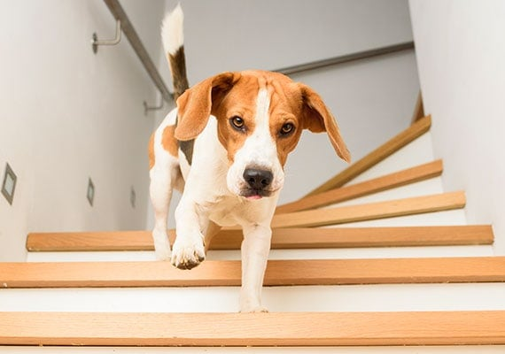 Jack Russel Mix Dog Running Down Wooden Stairs
