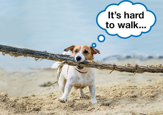Jack Russell Terrier carrying wooden stick that is far too big for him on beach