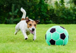 Jack russel terrier chasing soccer ball on grass
