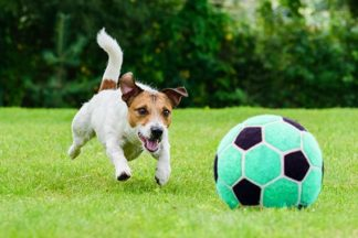 Jack russel terrier chasing soccer ball on grass