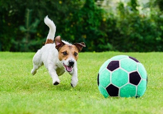 Jack Russell Terrier chasing soccer ball on grass
