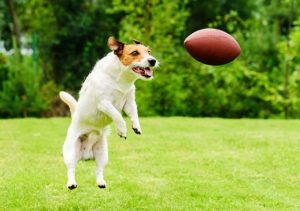Jack Russel Terrier leaping to catch thrown football in park