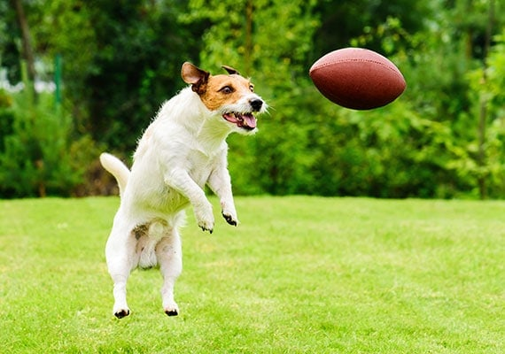Jack Russell Terrier leaping to catch thrown football in park