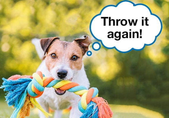 Jack Russell Terrier playing fetch with rope dog toy