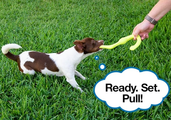Jack russel terrier pulling on best-rated tug toy for small and medium dogs, the West Paw Bumi