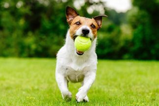 Hack Russel Terrier running in park with tennis ball in mouth
