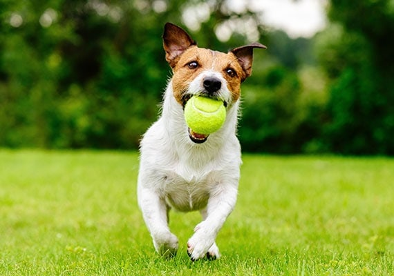 Jack Russell Terrier running in park with tennis ball in mouth