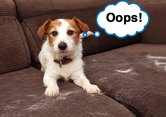Jack Russel Terrier shedding hair all over brown couch cushions