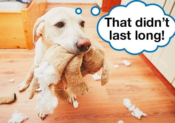 Labrador holding broken rabbit plush dog toy with stuffing scattered across floor