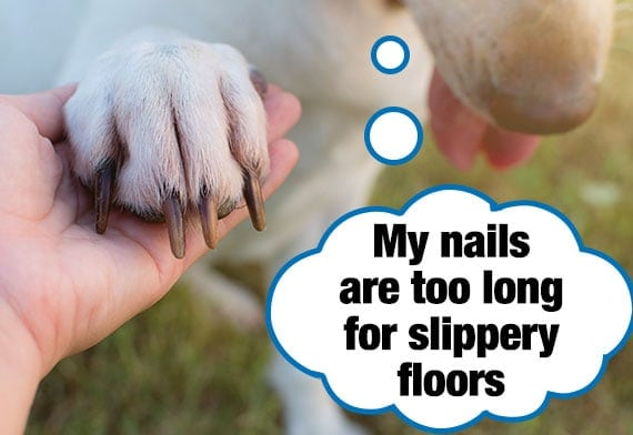 Labradoor showing of his nails that are too long for a slippery floor
