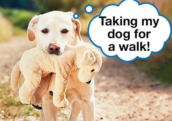 Labrador taking his plush toy for a walk outside