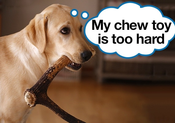 Labrador with hard antler chew toy in his mouth