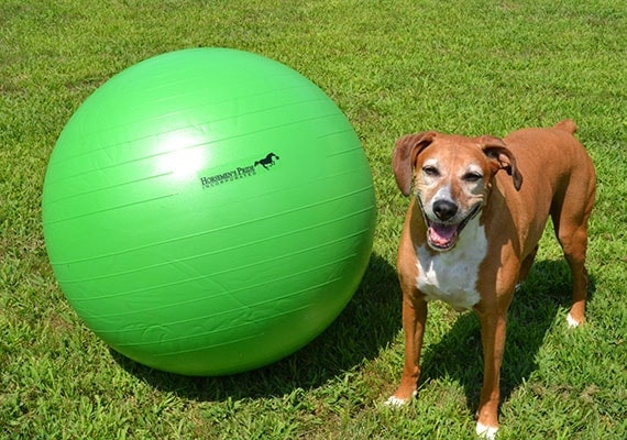 Large brown dog size comparison to oversized Jolly Mega Ball herding ball