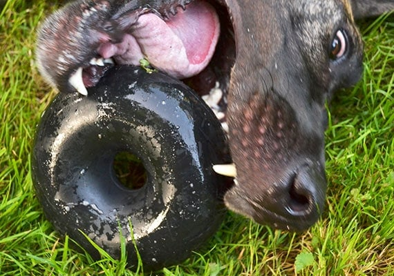 Large brown Great Dane aggressively sinking his teeth into Goughnuts Buster - The best chew toy we reviewed for giant dogs