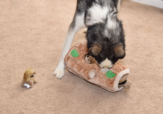 Luna the husky playing with outward hound hide-a-squirrel dog toy